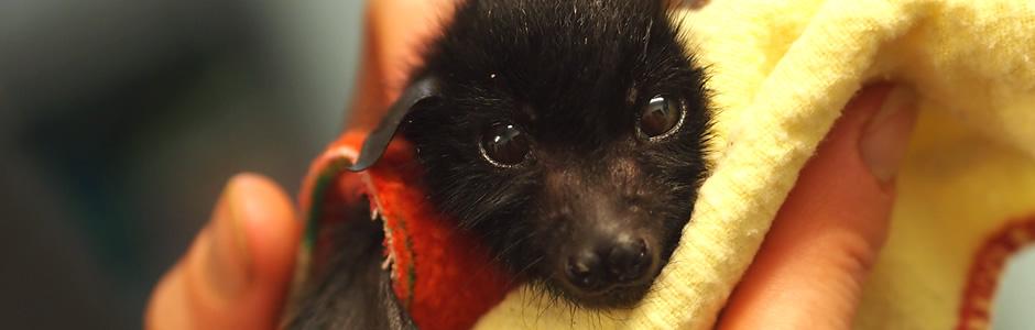 Wildcare Australia Bats